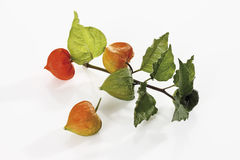 Chinese lantern plant (Physalis alkekengi) Royalty Free Stock Photography