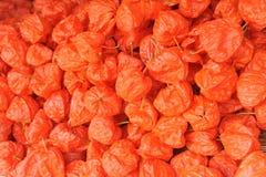 Chinese lantern plants Royalty Free Stock Photo