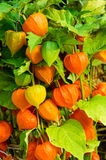 Chinese Lantern plants with orange lanterns Stock Image