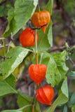 Chinese Lantern Plants (Physalis alkekengi) in autumn Stock Image