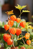 Chinese Lantern Plants (Physalis alkekengi) Royalty Free Stock Photography