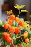 Chinese Lantern Plants (Physalis alkekengi) Royalty Free Stock Photography