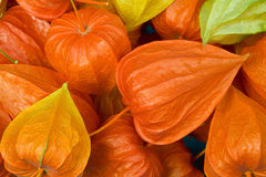 Chinese Lantern Pods Stock Photos
