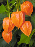 Chinese Lanterns. A group of five bright orange Chinese lanterns--physalis alkekengi--hanging from their plant stems Royalty Free Stock Images