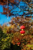 Chinese lanterns, a symbol in Chinese tradition for celebrating good times such as new year etc. Chinese lanterns hung on a tree, a symbol in Chinese tradition stock image