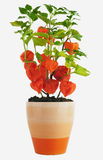 Chinese Lanterns, Physalis alkekengi Royalty Free Stock Image