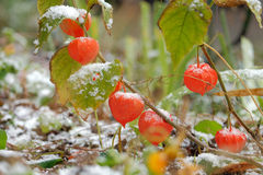 Chinese Lanterns. Physalis alkekengi and the first snow Royalty Free Stock Photos