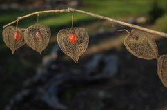 Chinese Lanterns. Which have gone to seed Royalty Free Stock Photos
