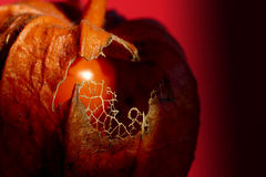 Chinese latern. Colorful autumn or winter detail: red chinese latern, physalis alkekengi with window to the fruit, macro, close up, copy space Stock Photos