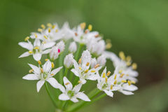 Chinese Leeks Flower Stock Photography