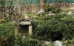 Chinese Leopard Royalty Free Stock Images