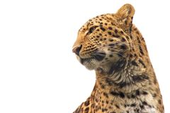Chinese Leopard ISO. Isolated Chinese Leopard looking out for its prey with lots of space for your text Stock Image