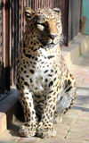 Chinese leopard or North China leopard Stock Photos