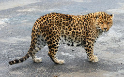 Chinese leopard or North China leopard Royalty Free Stock Photography