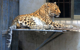 Chinese leopard or North China leopard Stock Image