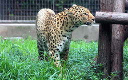 Chinese leopard or North China leopard Royalty Free Stock Photos