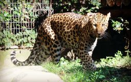 Chinese leopard or North China leopard Stock Photo