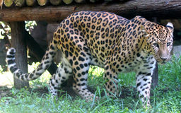Chinese leopard or North China leopard Stock Images