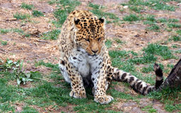 Chinese leopard or North China leopard Royalty Free Stock Images
