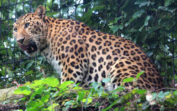 Chinese leopard or North China leopard Royalty Free Stock Photo