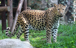 Chinese leopard or North China leopard Royalty Free Stock Image