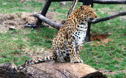 Chinese leopard or North China leopard Stock Photography