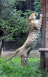 Chinese leopard or North China leopard Stand up Royalty Free Stock Photos