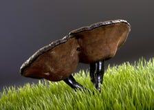 Chinese Lingzhi Mushroom. Royalty Free Stock Photo