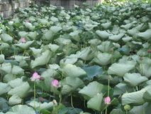 Chinese Lotus Flower field royalty free stock photo