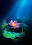 Chinese lotus Stock Photos