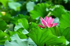 Chinese lotusbloem met bij Royalty-vrije Stock Afbeelding