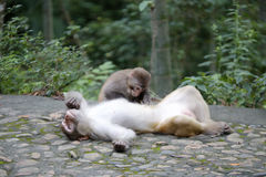 Chinese macaque catch lice Royalty Free Stock Photos