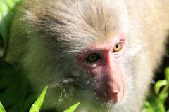 Chinese macaque closeup Royalty Free Stock Photo