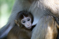 Chinese macaque cub sucking Stock Photos