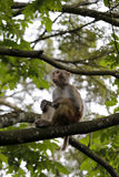 Chinese macaque sit on tree Stock Photo