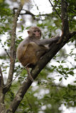Chinese macaque on tree Royalty Free Stock Image