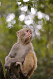Chinese macaque watch Stock Image