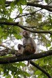 Chinese macaque zit op boom Stock Foto