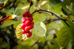 Chinese magnolia vine berries Royalty Free Stock Images