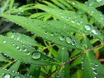 Chinese mahonia, graperoot,  water droplets stock photography