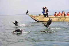 Chinese man fishing with cormorants birds Stock Photos