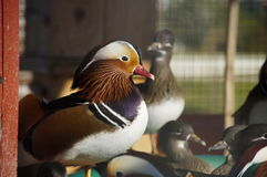 Chinese mandarin duck. In the ornithological garden in Sochi, Russia Stock Images
