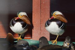 Chinese mandarin duck. In the ornithological garden in Sochi, Russia Royalty Free Stock Photo