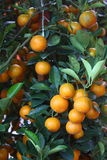 Chinese Mandarin Orange Stock Photos