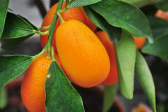 Chinese mandarins Royalty Free Stock Photos