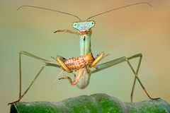 Chinese mantis eating cricket Royalty Free Stock Images