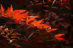 Chinese Maple Stock Photos