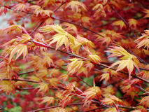Chinese Maple in Fall Colours. A close up of the red and yellow hues of a Chinese maple in early fall Stock Images
