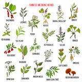 Chinese medicinal herbs. Hand drawn vector set of medicinal plants Stock Photo