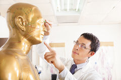 Chinese medicine doctor point  acupoint a model. Chinese medicine doctor point  acupoint on human model in a room Royalty Free Stock Images